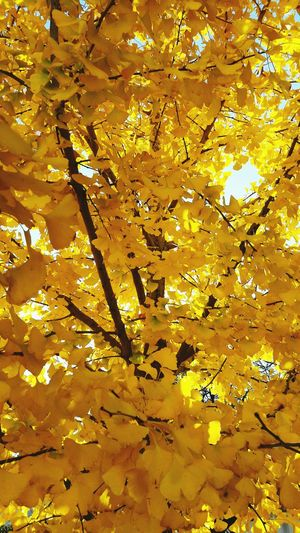 Yellow Full Frame Backgrounds Gold Colored Tree No People Nature Growth Outdoors Gold Close-up Day Flower Fragility Beauty In Nature Gingo Gingo Tree Ginko Biloba