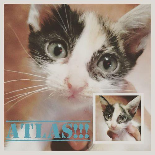 My Atlas... look alike of YODA or GREMLINS??? Lilfurry Happyfurrs AmericanBobtailCrossBreed Perrysons Tresquatro @bethostern @catsofinstagram @mecilthecat @petunia_dexter_lola @cats_of_instagram @meowbox
