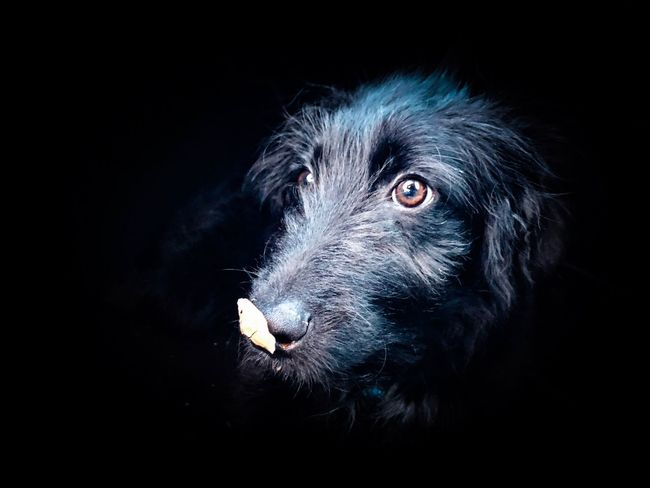 An animal's eyes have the power to speak a great language Besutiful Beauty Animal Love Beautiful Animal Eyes Leaf Black Dog Mammal Portrait Black Color Animal Head  Domestic Pets Close-up Hair