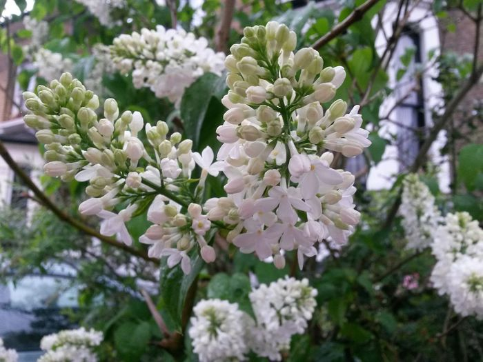 Flower Growth Beauty In Nature Nature Freshness Blooming Outdoors Flower Head Close-up White Flower White Lilac