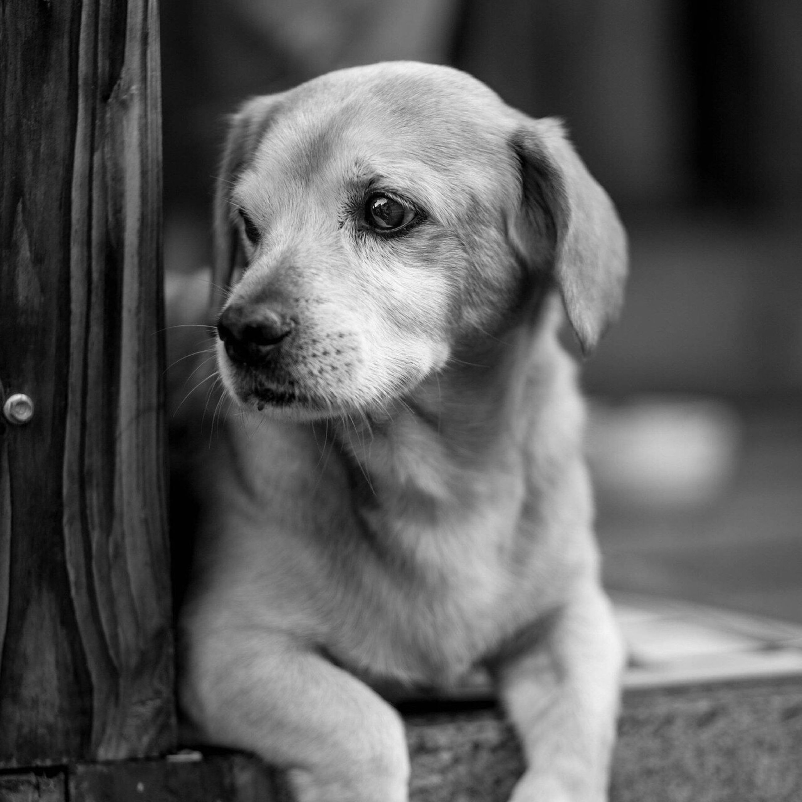 one animal, pets, domestic animals, animal themes, dog, close-up, looking away, mammal, selective focus, focus on foreground, animal head, animal nose, pampered pets, animal, zoology, snout, loyalty