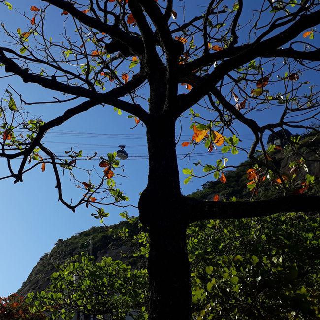 pé de bonde.... Rio De Janeiro Sol J7primephotography Brazil EyeEmNewHere Bondinho Montains    Tree Branch Tree Trunk Sky Growing Plant Life