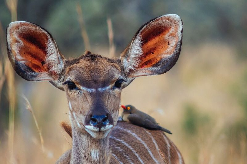 Portrait of kudu with oxpecker
