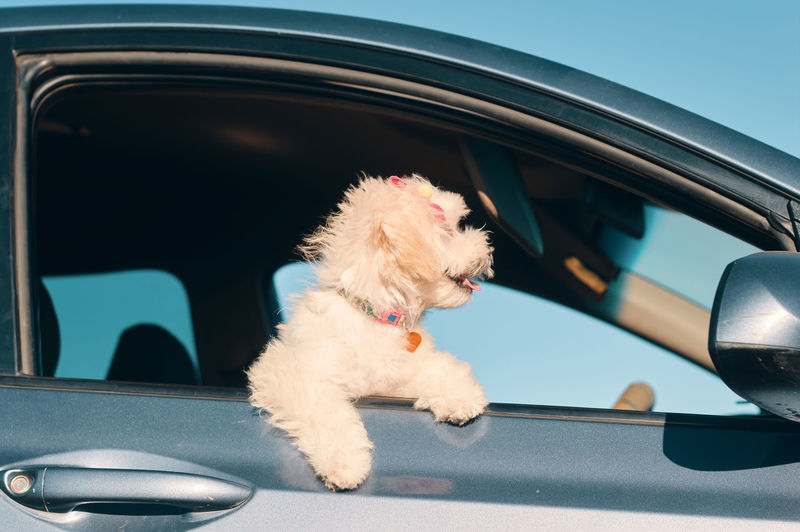 A side view of a happy french poodle mini puppy dog with hair clips looking out of a car window