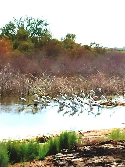 Follow me Storks In The Wild Storks In Mexico Storks Migration Tree Nature Tranquility Tranquil Scene Beauty In Nature Scenics Outdoors Growth Water Non-urban Scene No People Change Autumn Day Sky