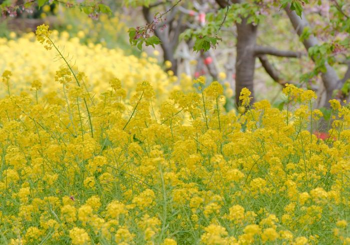 Yellow Plant Flowering Plant Flower Growth Beauty In Nature Freshness Field Agriculture Fragility Vulnerability  Land Nature Oilseed Rape Day Crop  Selective Focus Rural Scene Springtime Landscape