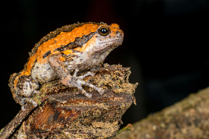 Orange and brown banded bull, chubby, Asian painted, rice or bubble frog,(Tetrapoda: Amphibia: Anura: Microhylida: Kaloula pulchra) stay still on a wooden log isolated with black background Asian  BANDED  Black Background Bull Frog Kaloula Orange Painted Pulchra Rice Tetrapoda Amphibian Animal Anura Brown Bubble Chubby Close-up Herpetology Log Microhylida Nature Outdoors Vertebrate Wooden