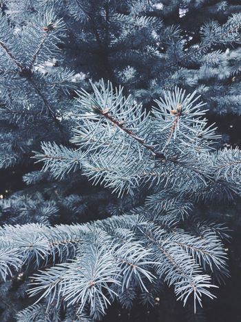 white firr Coniferous Tree Botanical Species Trees Fir Winter Cold Temperature Snow Tree Nature Plant Frozen No People Beauty In Nature Growth Branch Outdoors Pine Tree