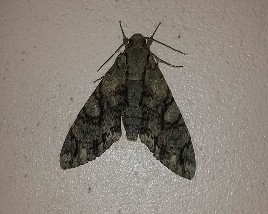 3rd moth in a few weeks... mating season?? Moth Saintlucia Bugs