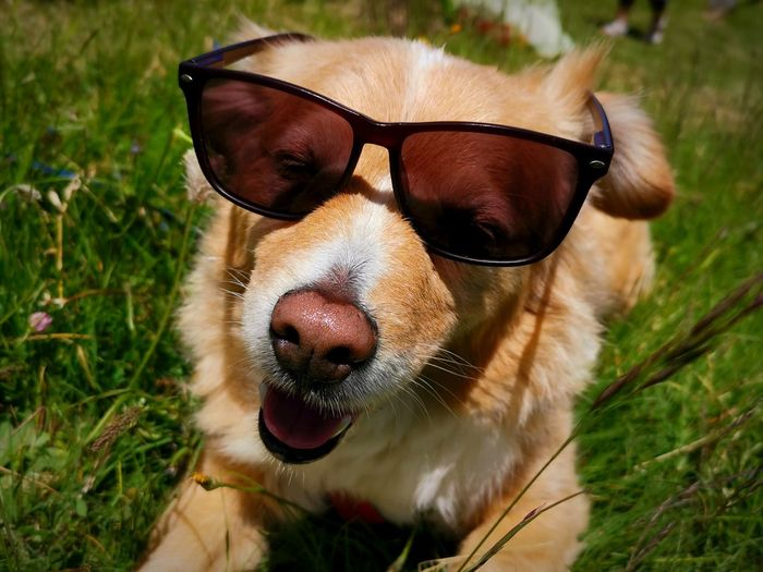 Close-up of dog wearing sunglasses on field