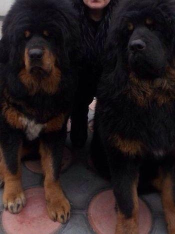 Dogs Tibetan Mastiff Tibet Pets Dubai UAE Goodmorning World  Seoul_korea Jejuisland