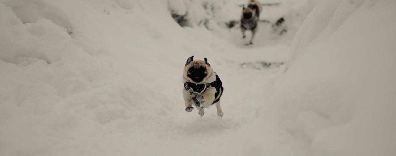 Pugs on snow field