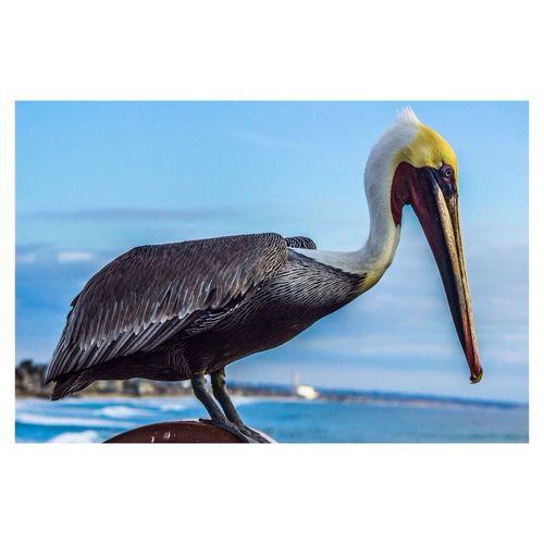 Bird Pelican Animal Oceanside