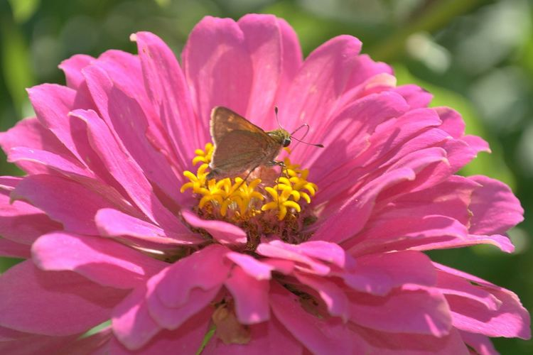 Close Up Flowers Nature Photography Pink Zinnia Showcase April