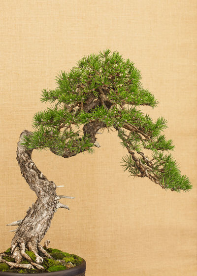 Elegant japanese bonsai placed on an antique yellow fabric background