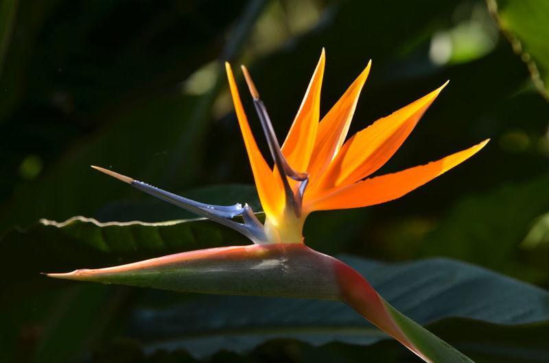Flower Head Flower Petal Bird Of Paradise - Plant Beauty Multi Colored Tropical Climate Close-up Plant