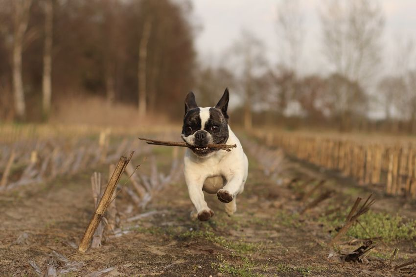 Action Shot  Action Shots Corn Field Dog In Action Dog Photography Französische Bulldogge  Französische Bulldogge Hat Spaß Französische Bulldogge Im Maisfeld French Bulldog French Bulldog Having Fun French Bulldog In Corn Field Frenchbulldog Frenchbulldogs Fun Hund In Aktion Hundefotografie Nature Outdoors Pets Playing Dog Rennender Hund Running Dog Running French Bulldog Spielender Bully Spielender Hund Let's Go. Together. EyeEm Selects