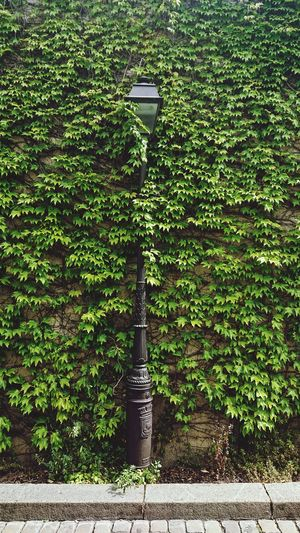 Ivy growing on wall by street