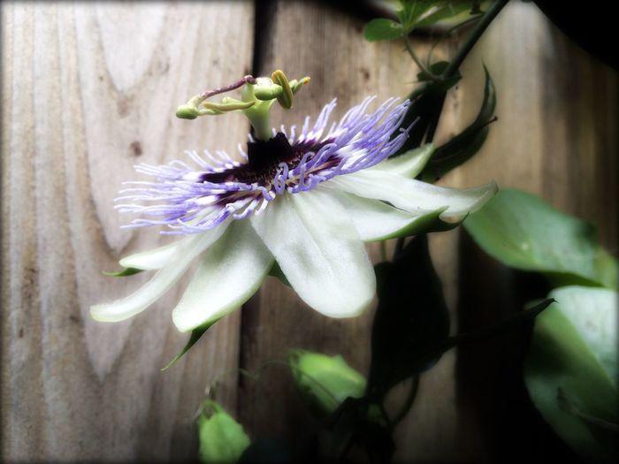 Clematis Flower Nature PNW Readyforspring Pacificnorthwest Myfavoriteflower