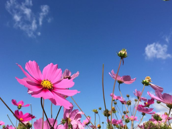 Low angle view of cosmos flowers against blue sky