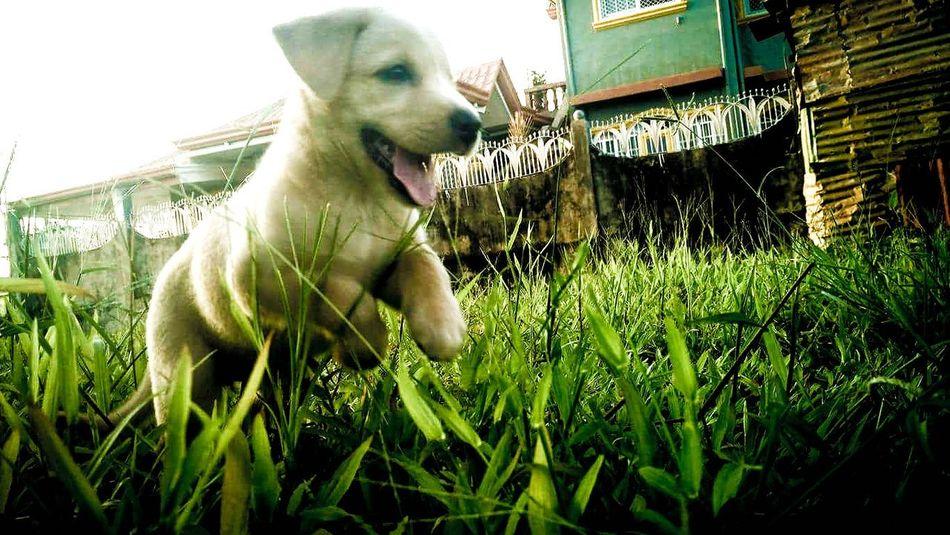 Eyeemphoto Pet Labrador Labrador Retriever Golden Retriever Goldenretriever Goldador Puppy