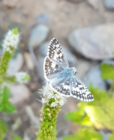 Moth Mother Nature Focus On Foreground Gray Green Background Moth On Flower Spearmint Flower
