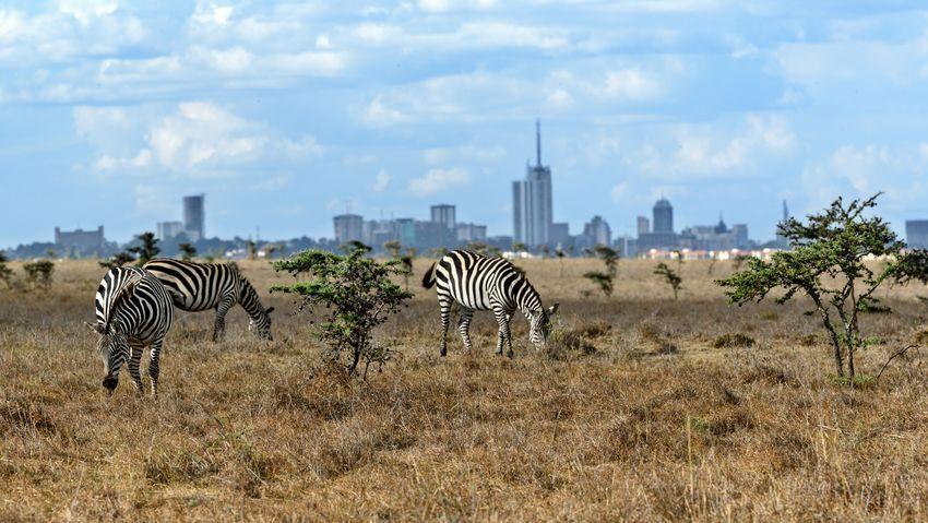 Zebras Nairobi African Kenya Grazing Savannah Wildlife Nature Animal, Rural Scene, Landscape