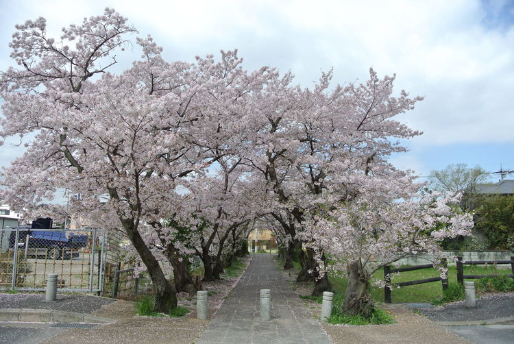 Japan Japan Photography Journey Nara Nara,Japan Sakura Cherry Blossom Plant Tree Flower Blossom Nature Flowering Plant Fragility Freshness Springtime Growth Beauty In Nature No People Day Sky Direction Outdoors Branch Architecture The Way Forward Cherry Tree Diminishing Perspective