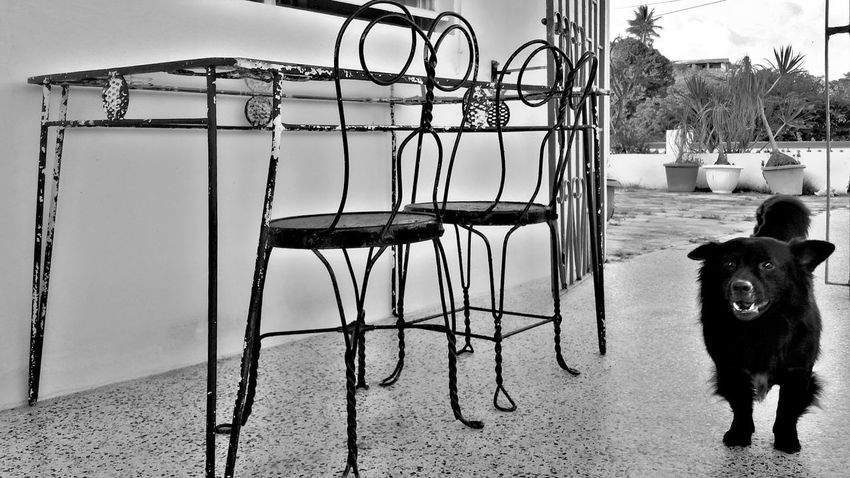 One Animal Animal Themes Mammal Dog Day Domestic Animals Pets No People Sky Patio Furniture Patio Decor Iron Work Mobile Photography Black And White St. Croix USVI