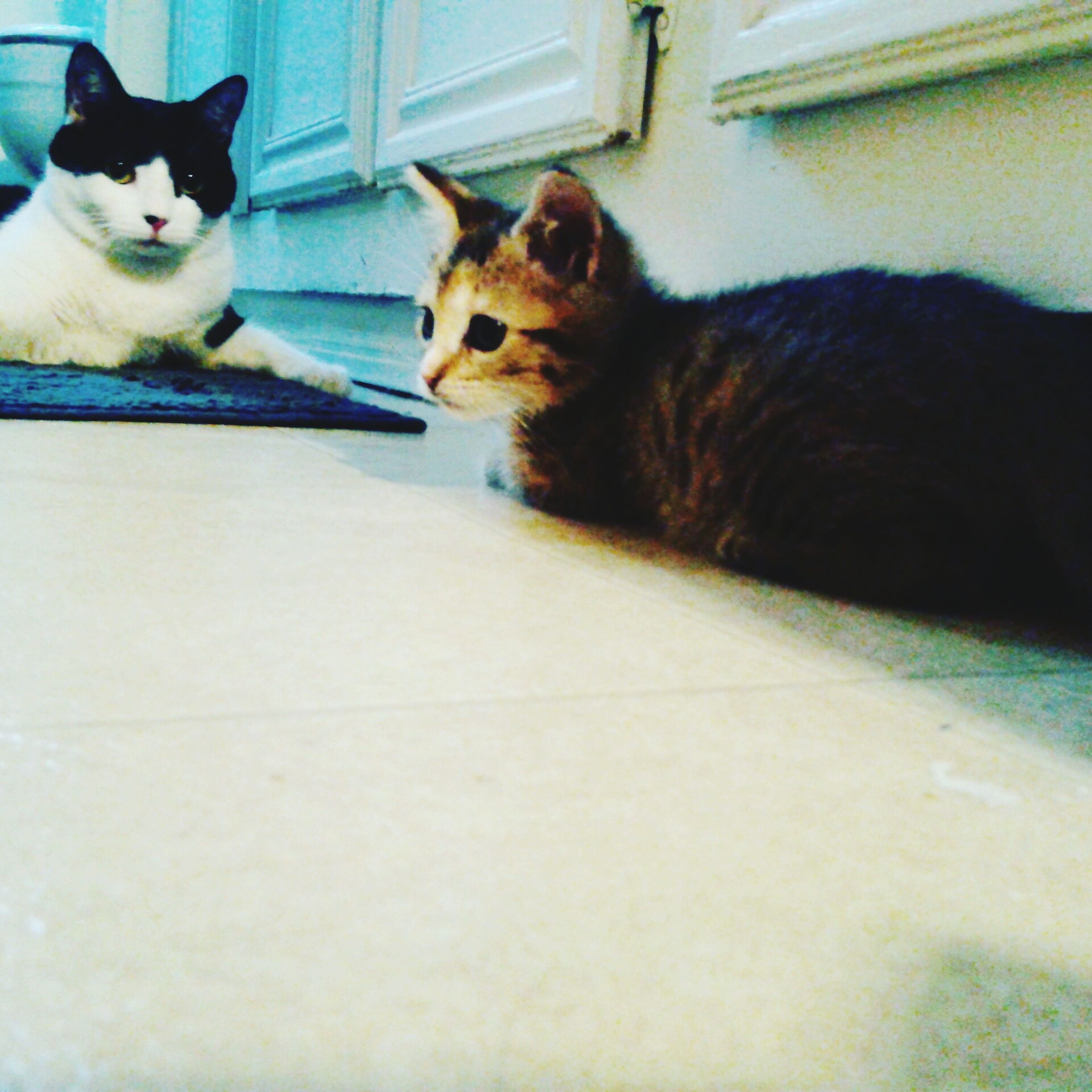 pets, animal themes, domestic animals, domestic cat, mammal, one animal, feline, cat, indoors, no people, home interior, day