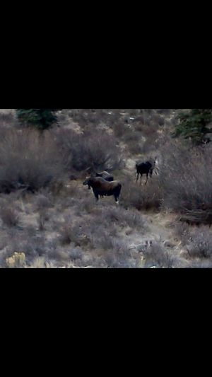 3 moose wandering Big Beautiful Animals slick beautiful fur coats Moose In The Winter Time In Colorado