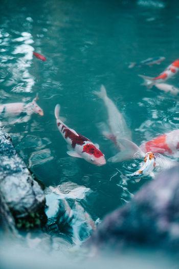 High angle view of koi carps swimming in sea