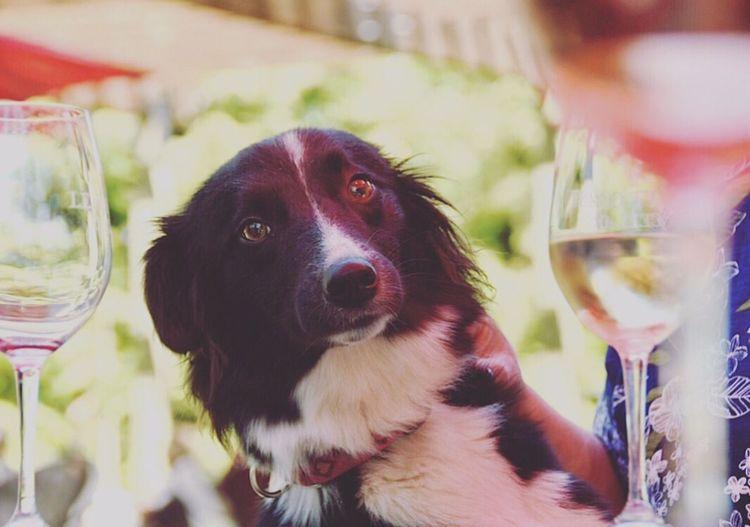 Wine Not Pets Dog Portrait Domestic Animals Close-up First Eyeem Photo