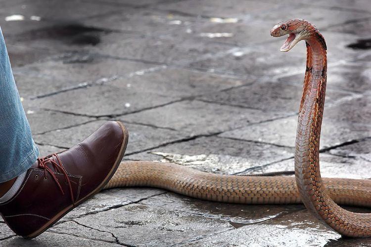 Snake attacking human foot