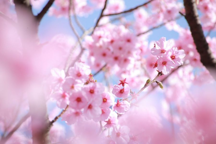 Sakura Cherry Blossoms サクラ Pink Flowers,Plants & Garden Spring Flowers Flower Spring Flowers Japan