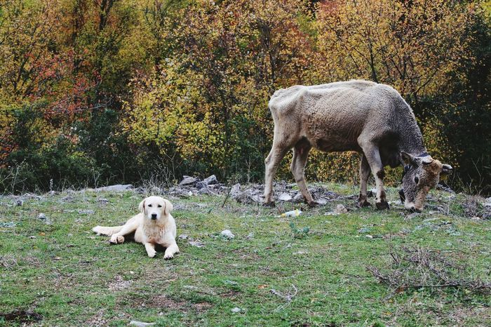 Greece Dog Cow Guard Sheepdog Seriusface Nature Noman Quiet Places RealLifeHappening Mammal Animal Themes Animal Wildlife Animals In The Wild No People Day Outdoors Grass Nature