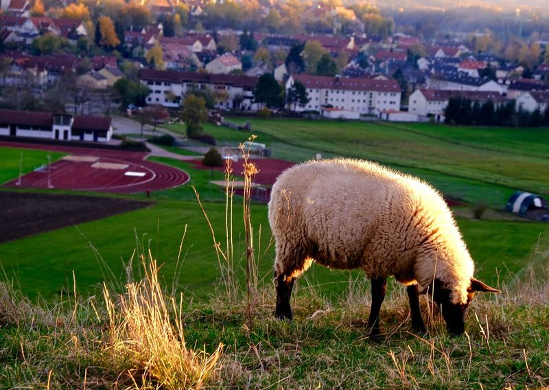 Grass Mammal Animal Themes Animal Livestock Domestic Animals Agriculture Landscape Sheep One Animal Outdoors Land Field Schongau Onmywayhome