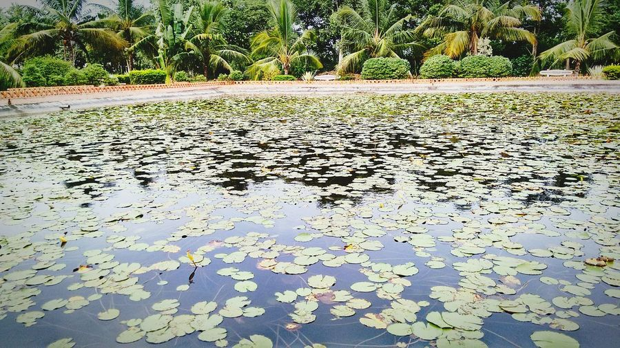 Hi! Hello World Taking Photos Check This Out Enjoying Life Landscape_photography Photooftheday Photography Professionalphotography Click Click 📷📷📷 Greenary❤☺ Pond Lotuspond Lotus Flowers Lotuscolle Tree_collection  Trees And Sky Everywheregreenary Nature Photography Naturephotography Nature_perfection Green Green Green!  Enjoying The View Captured Moment EyeEm Gallery