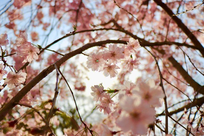 花明—Sakura