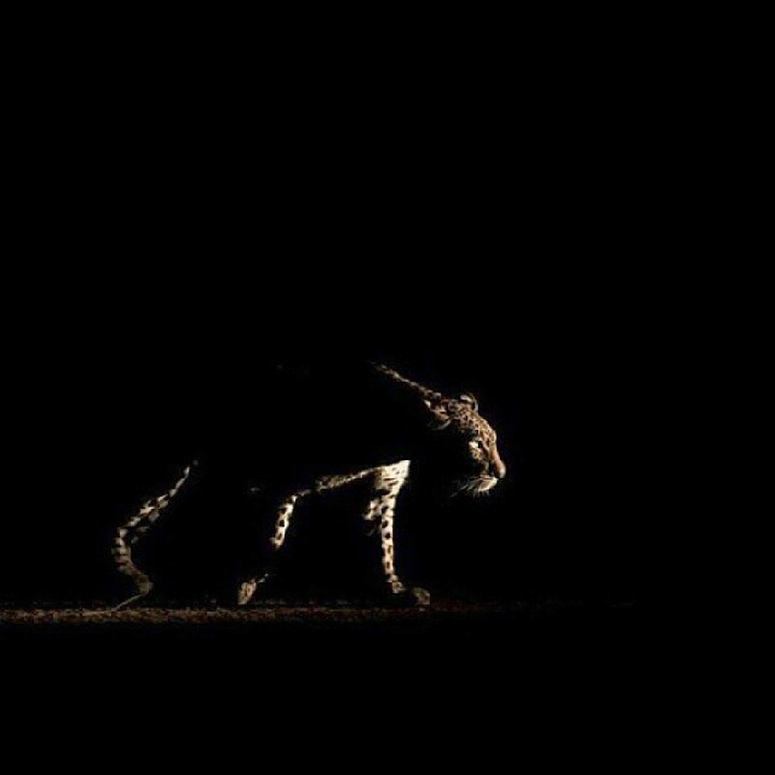 one animal, animal themes, night, copy space, black background, studio shot, wildlife, dark, mammal, animals in the wild, side view, no people, animal head, animal body part, close-up, black color, domestic animals, nature, zoology, shadow