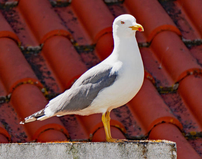 Close-up of seagull perching on a wall