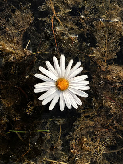 tomb or reside Beauty In Nature Close-up Flower Flower Head Fragility Nature Water White Color