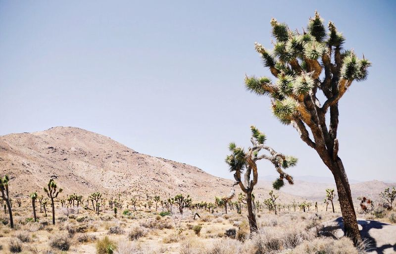 I'm most content in a desert The Great Outdoors - 2016 EyeEm Awards Joshua Tree California Goexplore Fromwhereistand Live Authentic Adventure Live Folk Chasinglight Gooutside Peoplescreatives Wandering Feel The Journey