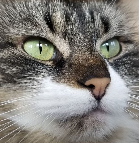 Domestic Cat Pets Feline Domestic Animals Portrait One Animal Looking At Camera