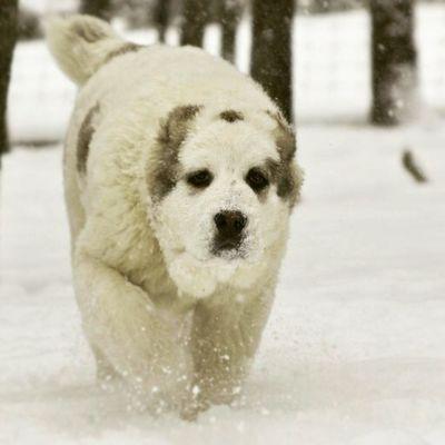 Nina Puppy CAS Cao LGD Centralasianshepherd Centralasianovcharka Tobet