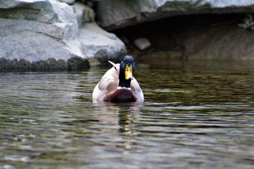 Animal Themes Animal Wildlife Animals In The Wild Beak Beauty In Nature Bird Day Duck Lake Nature No People One Animal Outdoors Swimming Water Waterfront