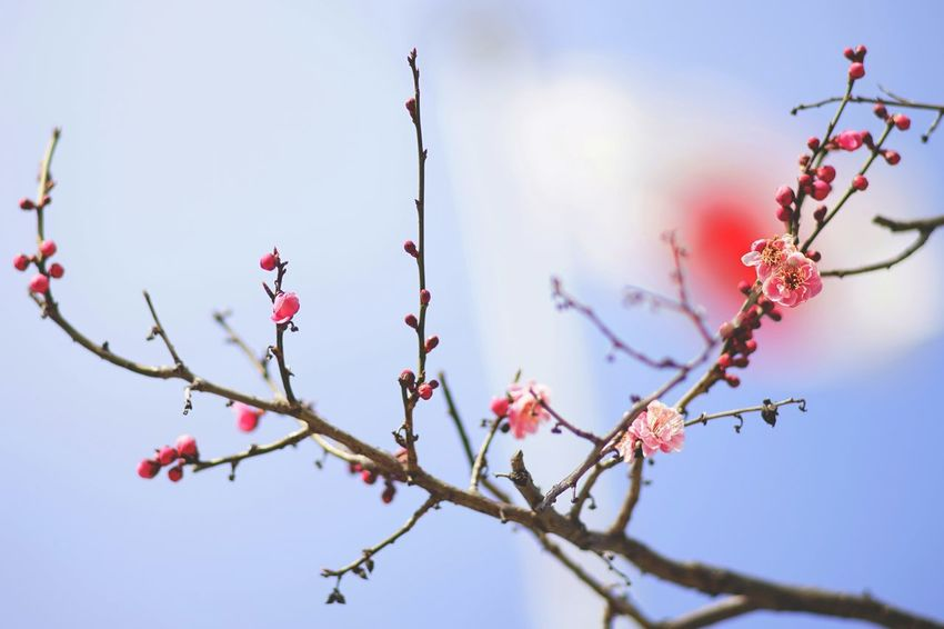 Capture The Moment Beauty In Nature Plum Blossom Tree Nature Depth Of Field Bokeh Background Japan Springtime Silhouette Uzuki Of The Flower Day Taking Photos Still Life Fine Art Landscapes Light And Shadow Flower Full Frame Detail Oldlens Zeiss EyeEm Best Shots 17_03