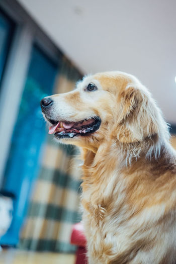 Side View Of Golden Retriever At Home