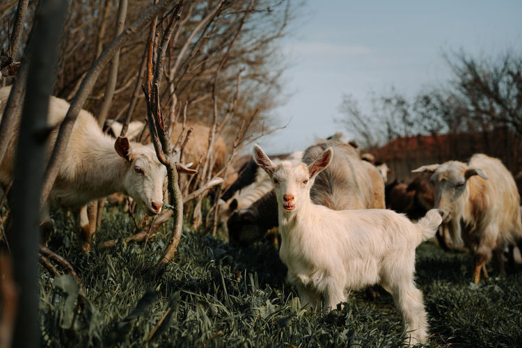 Goats in a village in spring