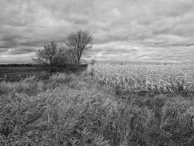 Someone needs to tend his crop... Outside for Bnw_friday_eyeemchallenge Farming Corn Field Tall Grasses Trees Cloudy Sky Darkness And Light My Cloud Obsession☁️ Rural Landscape Nature Textures EyeEm Nature Lover Appreciate The Little Things In Life I Love My City Canada Coast To Coast How Do We Build The World? Landscapes With WhiteWall The Great Outdoors With Adobe The Great Outdoors - 2016 EyeEm Awards My Favorite Photo Your Design Story Fine Art Photography Home Is Where The Art Is Monochrome Photography Neighborhood Map Black And White Friday